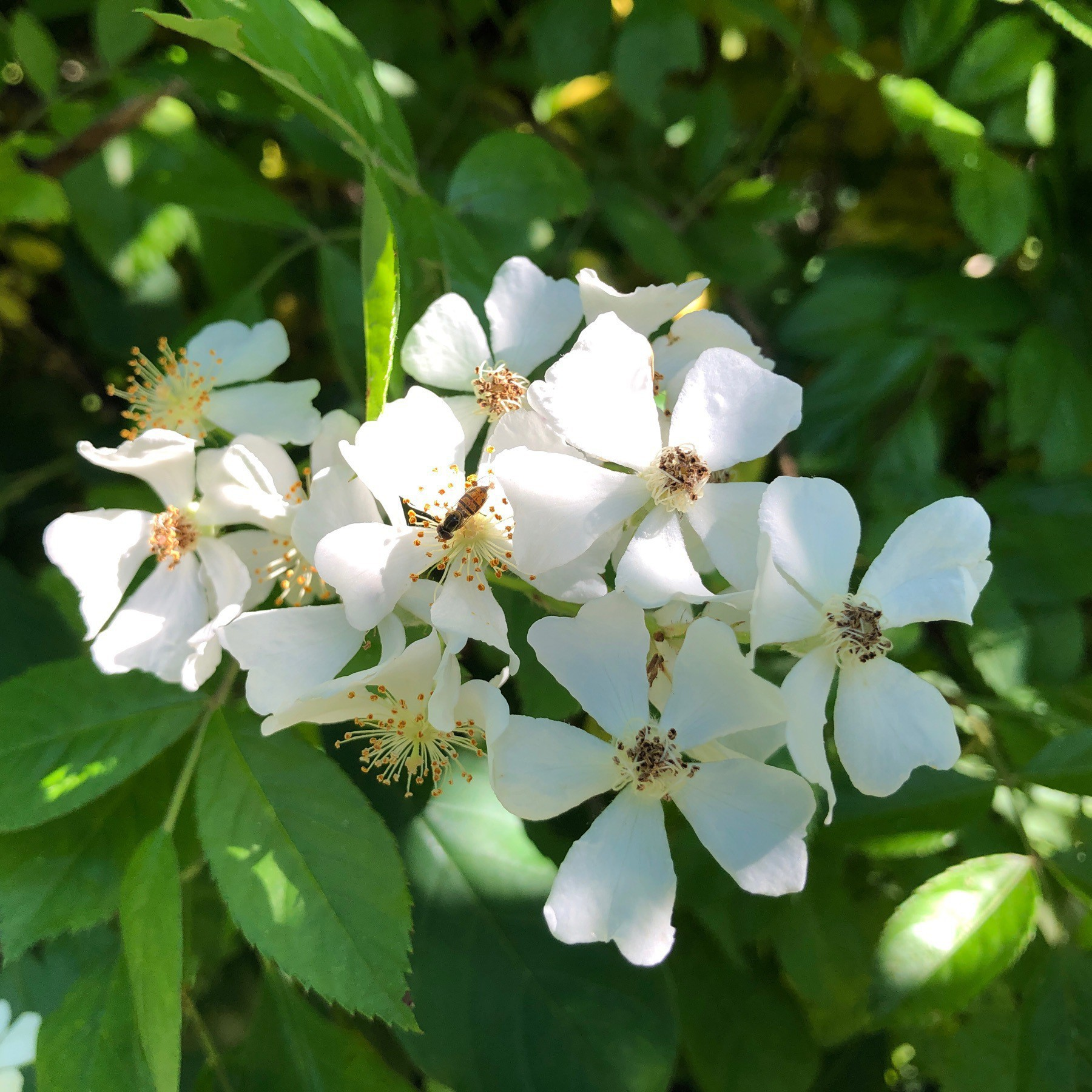 Small white flowers on a bush.