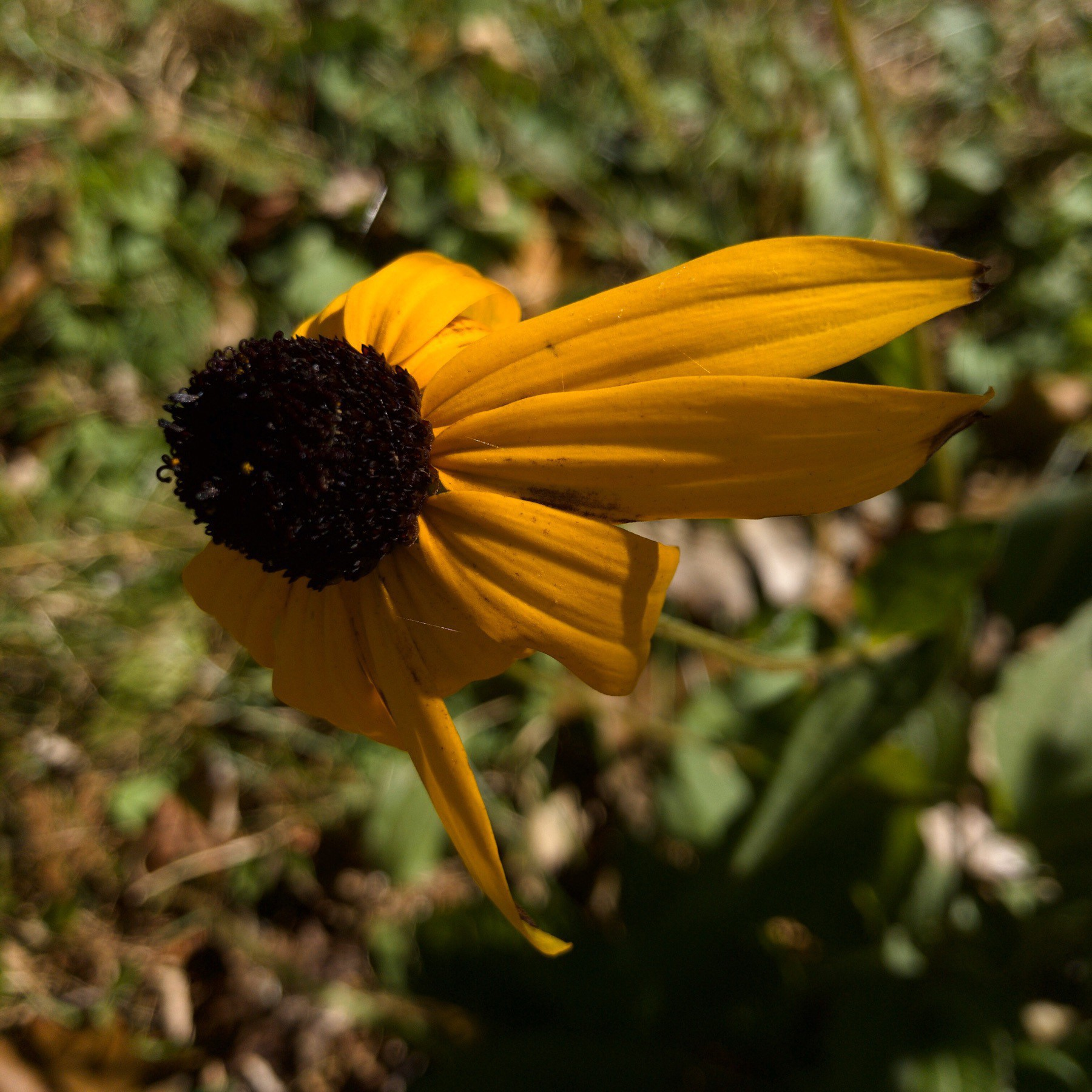 Black eyed susan with missing petals