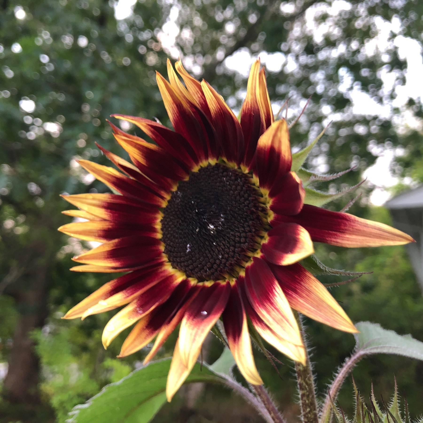 Sunflower opening.