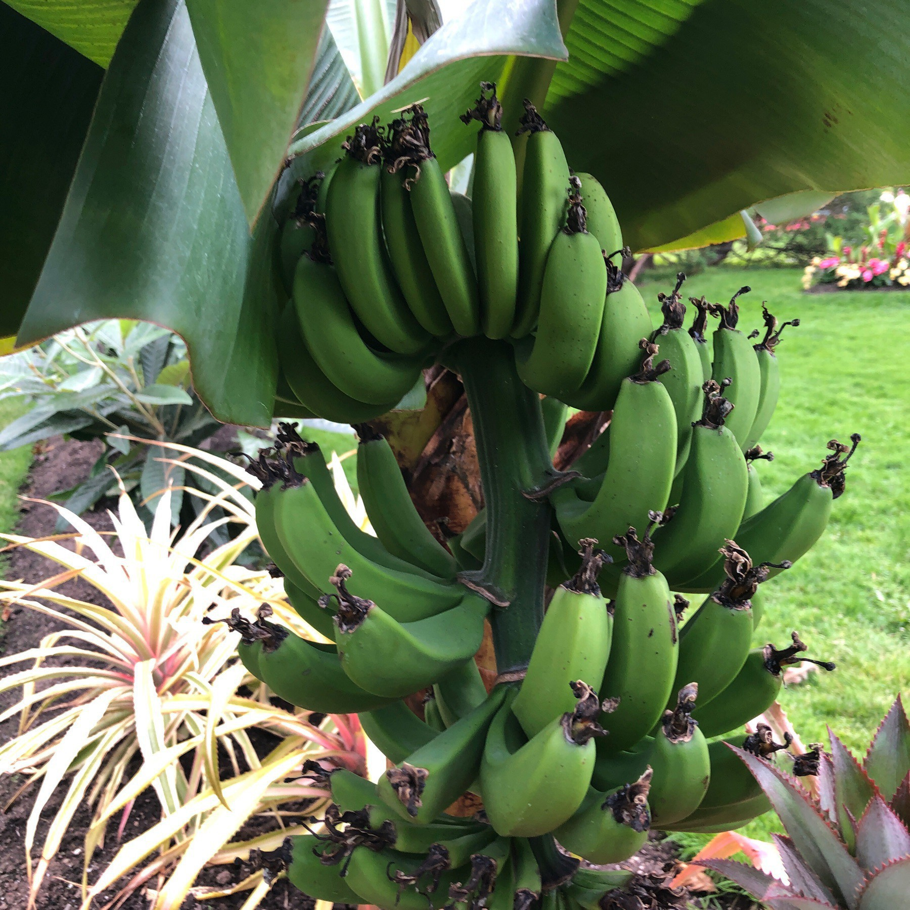 Green bananas growing on tree.
