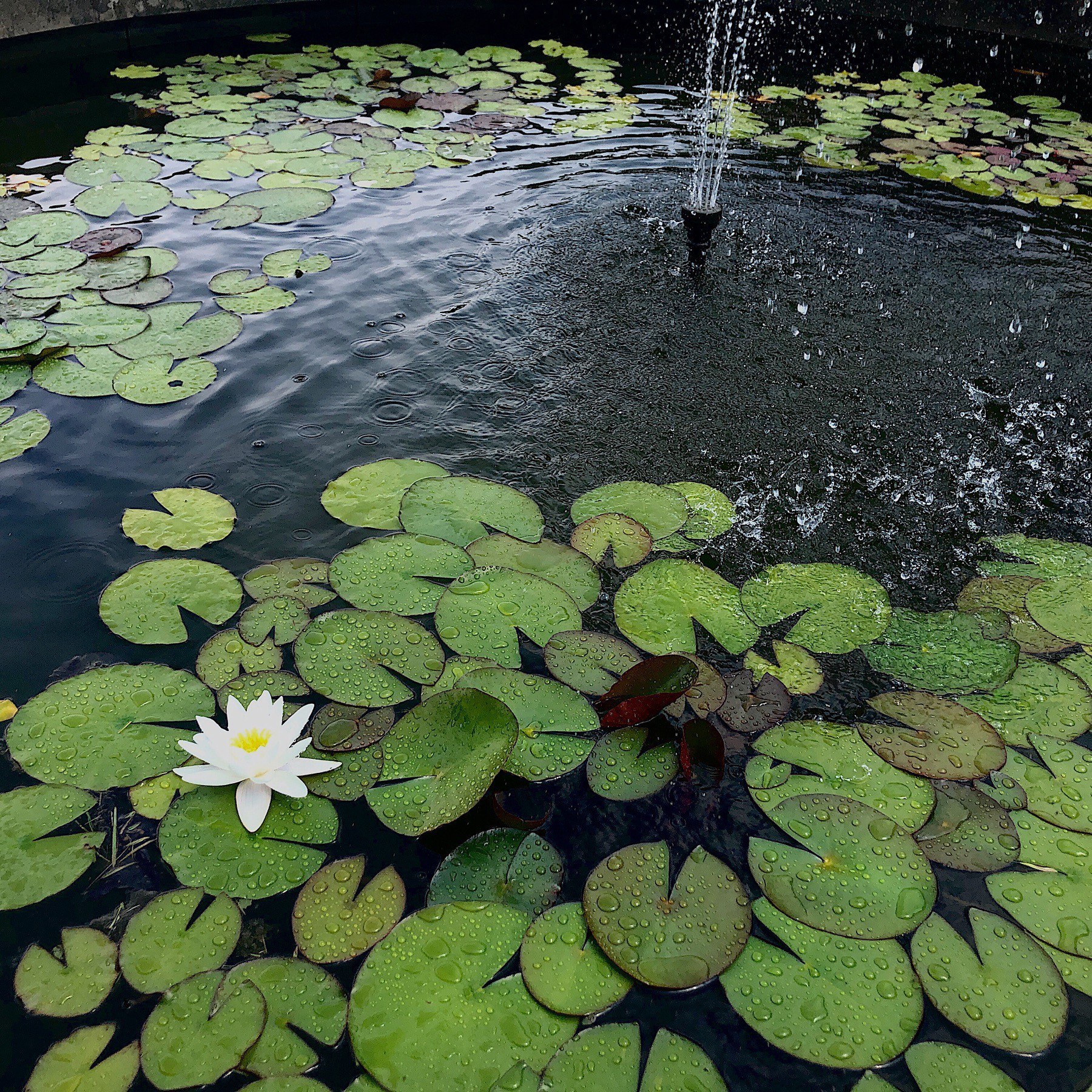 Lotus flowers and lily pads in water in fountain.