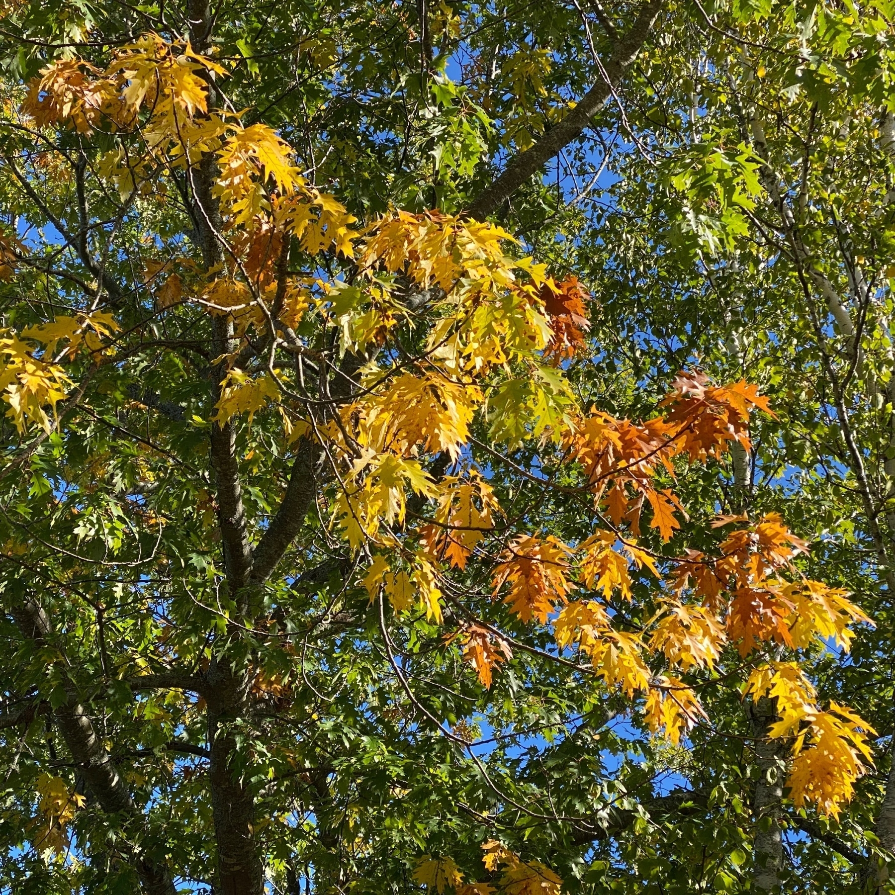 Leaves on oak tree changing colour.