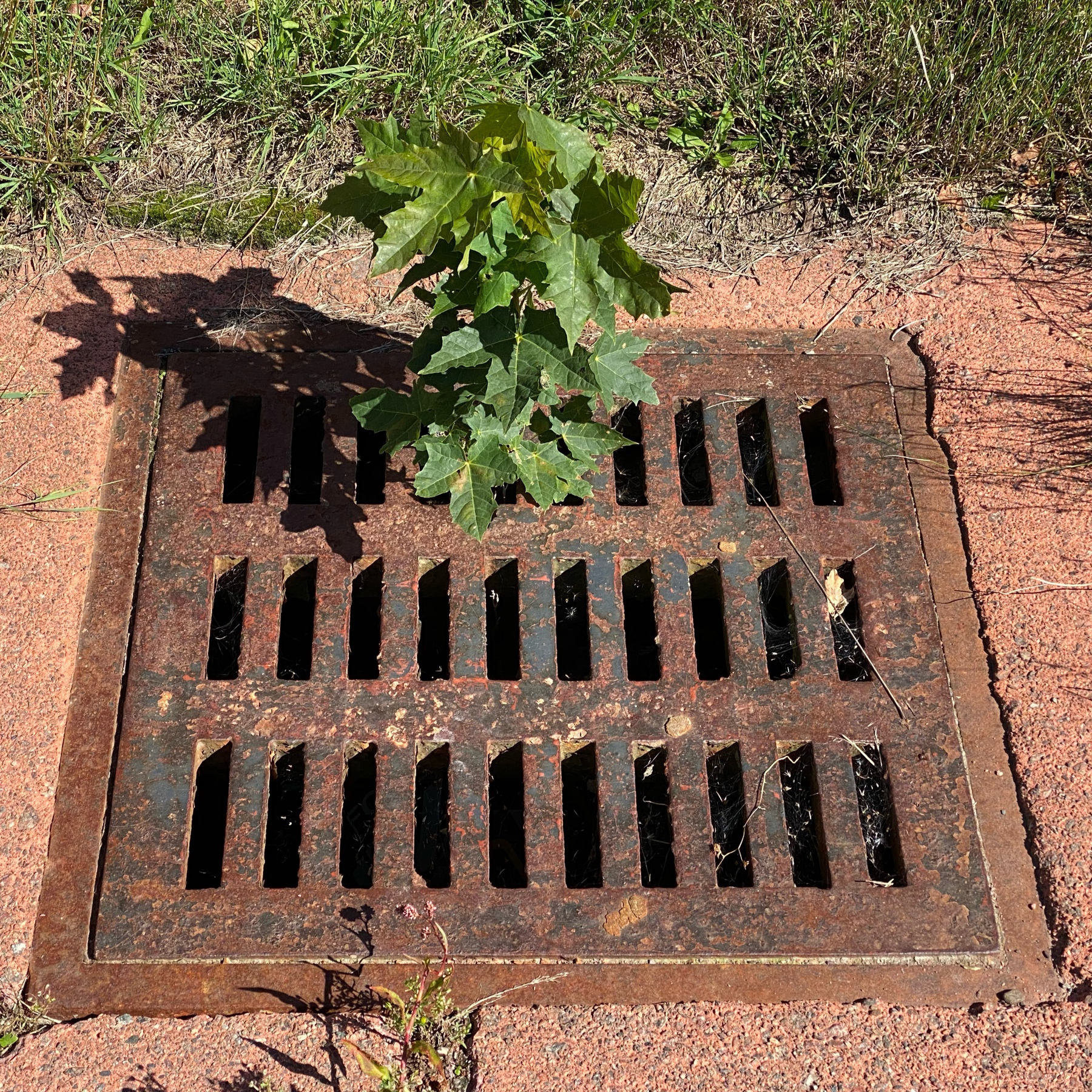 Plant growing out of sewer grate.