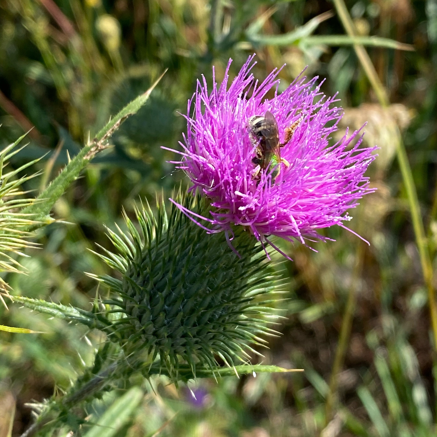 Bee on top of thistle.