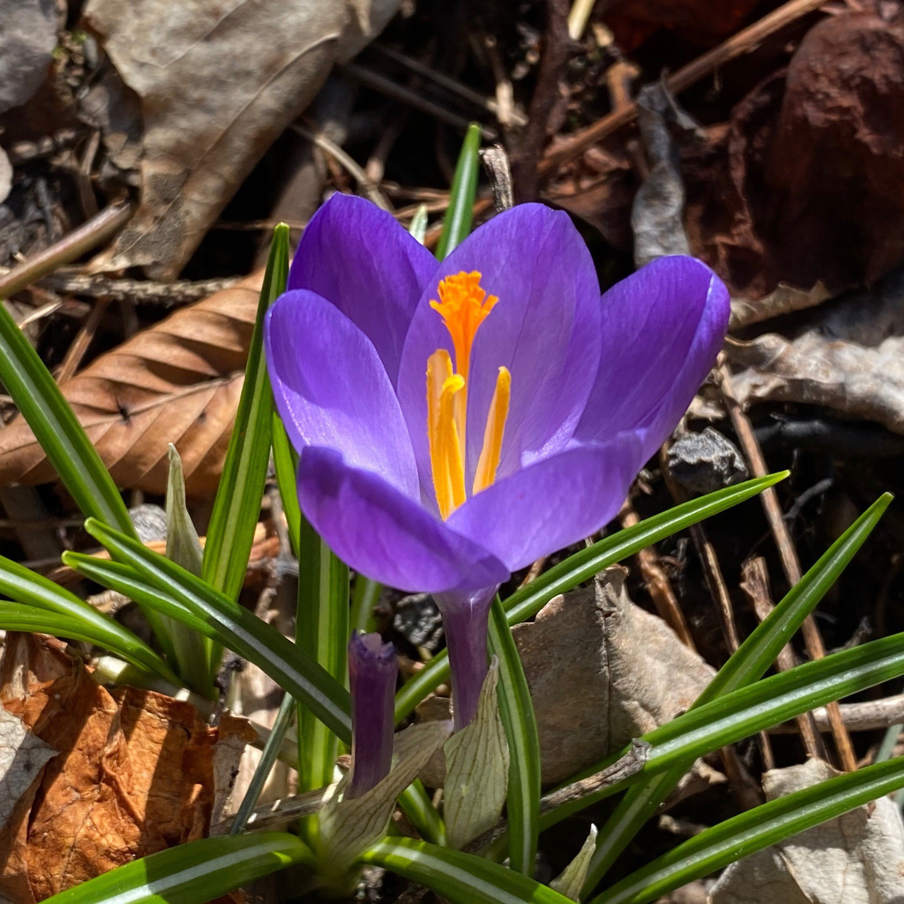 Crocus and leaves.