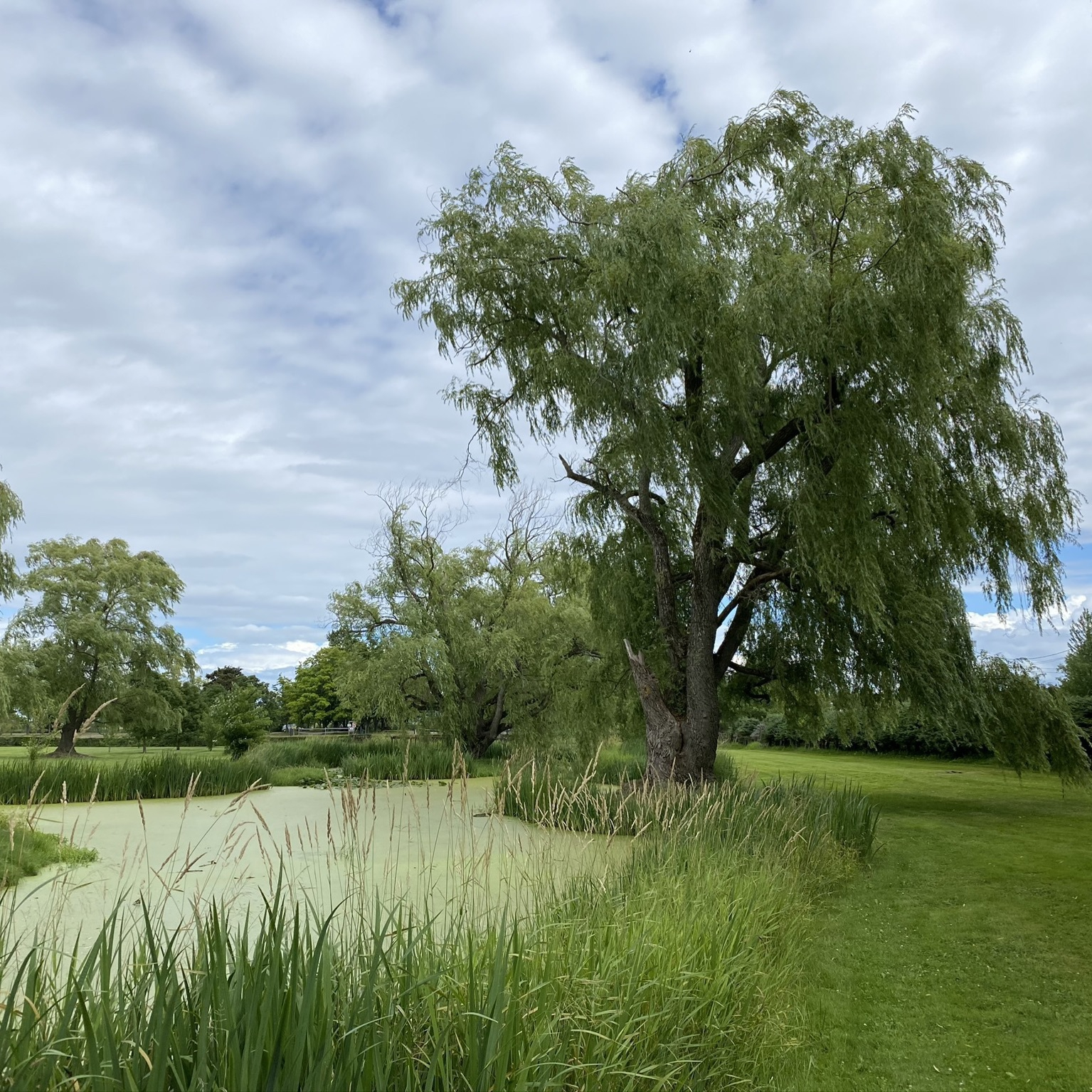 Pond and willow tree.