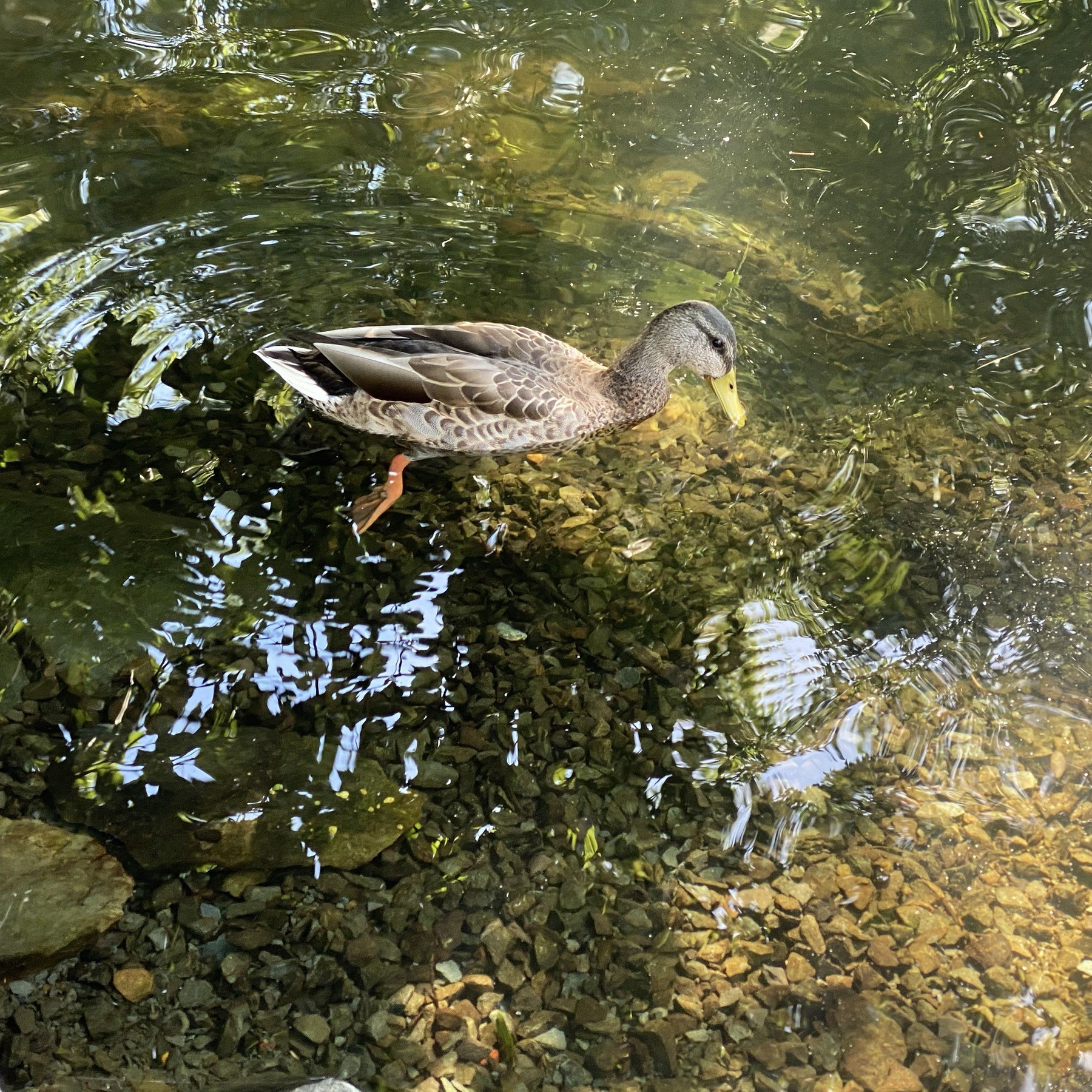 Duck floating in water.