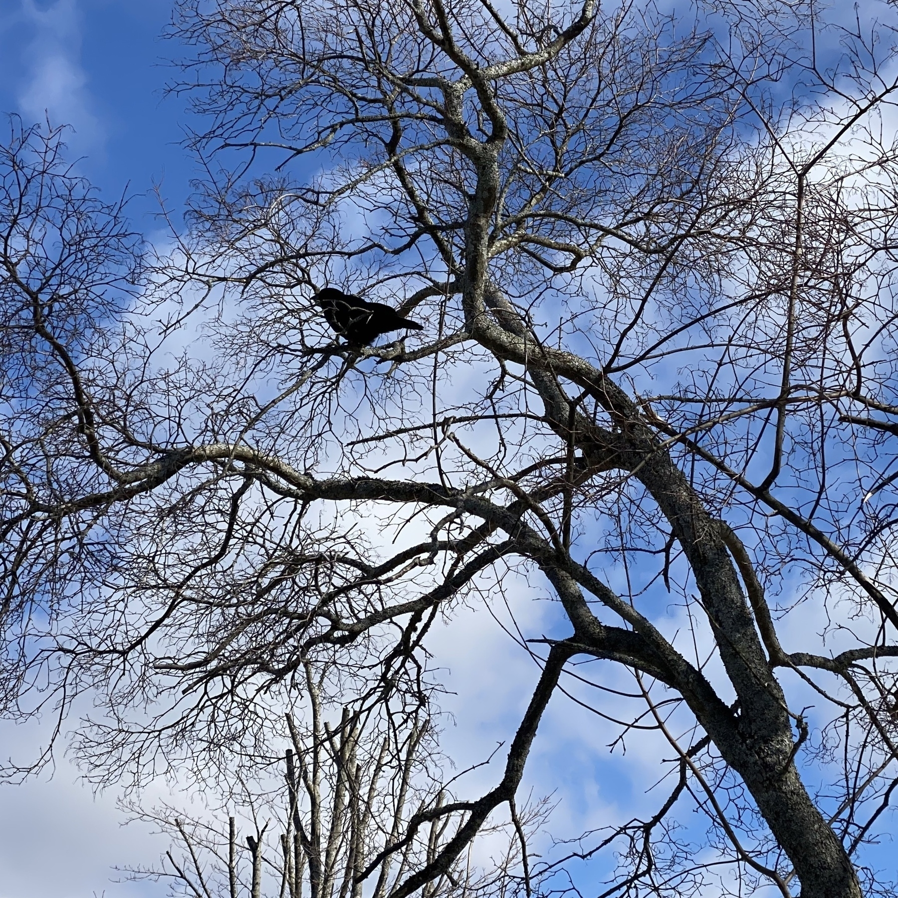 Crow in branches of a tree.